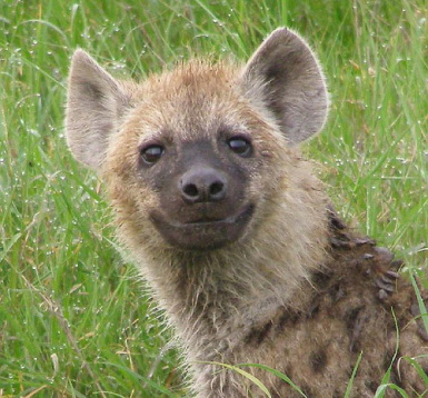 Cute Wallpapers Of All Kind Of Animals Animals Wallpapers Hyena