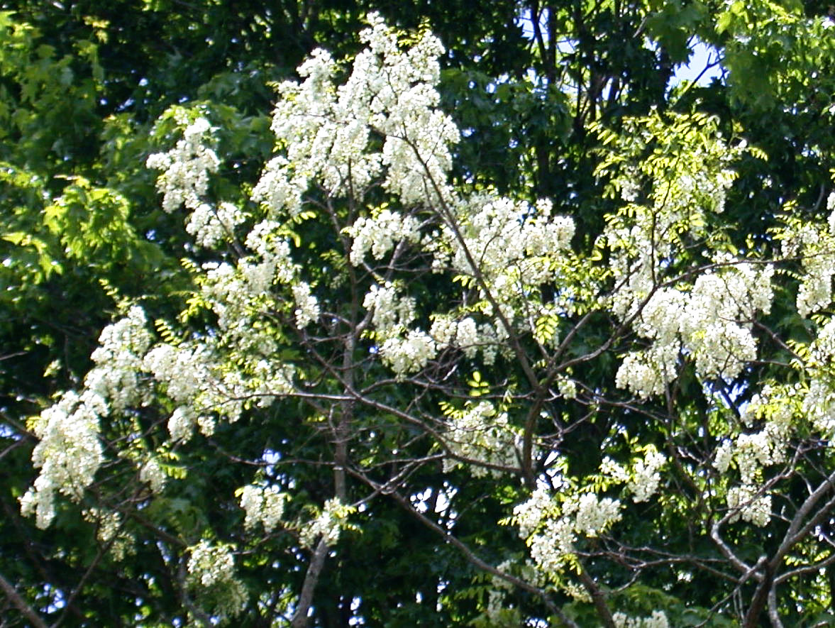 Rurification more trees with white flowers more trees with white flowers mightylinksfo