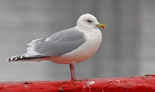 Kumliens Gull with dark wings, St.John's