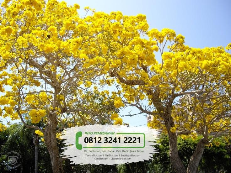 Jual Bibit & Benih Biji Pohon Tabebuya Kuning