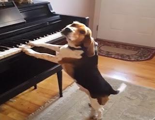 Το σκυλάκι «θαύμα»❗ Παίζει πιάνο και τραγουδάει! ➤〝📹ΒΙΝΤΕΟ〞