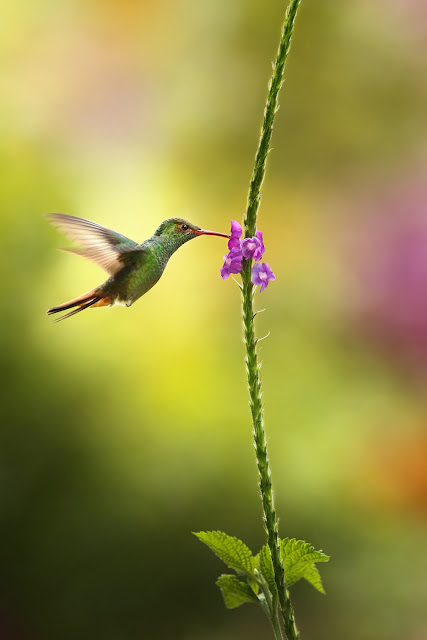 Hummingbird with her favorite purple flower feast