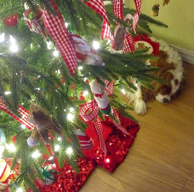 Blenheim Cavalier King Charles Spaniel sleeping under Christmas tree
