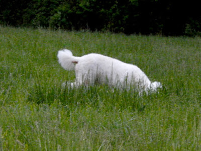 Poodle sniffing in a field