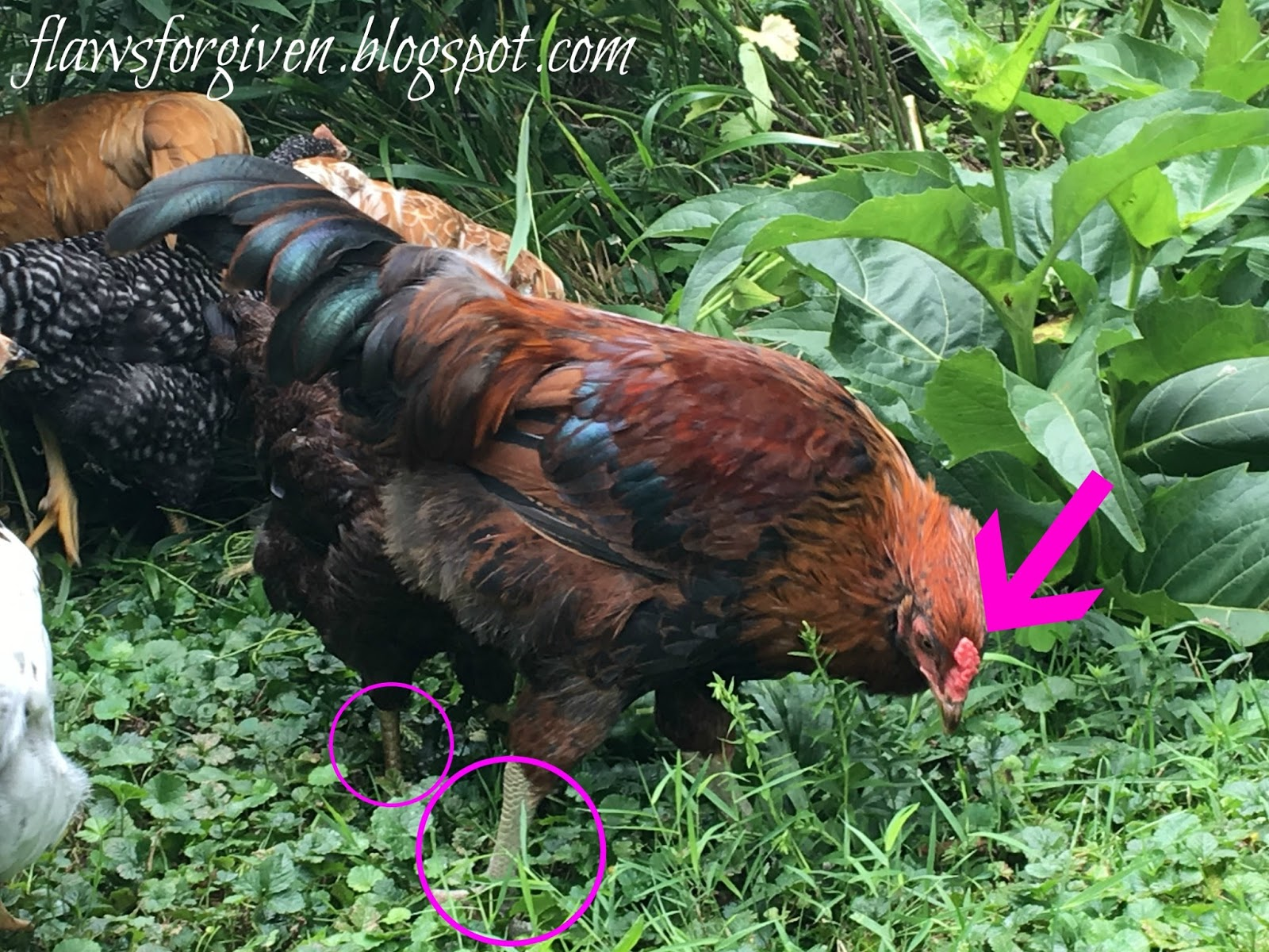 flaws forgiven how to spot a rooster and what to do with him
