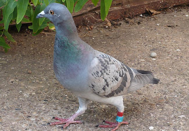 Penelitian Only natural local odours allow homeward orientation in homing pigeons
