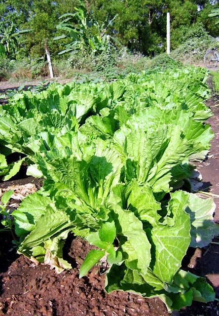 Cây CẢI CANH - Brassica juncea - Nguyên liệu làm thuốc Chữa Ho Hen
