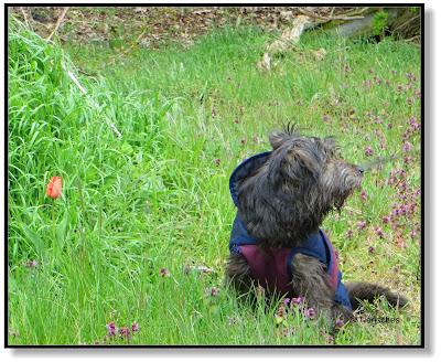 Tulpe im Wald