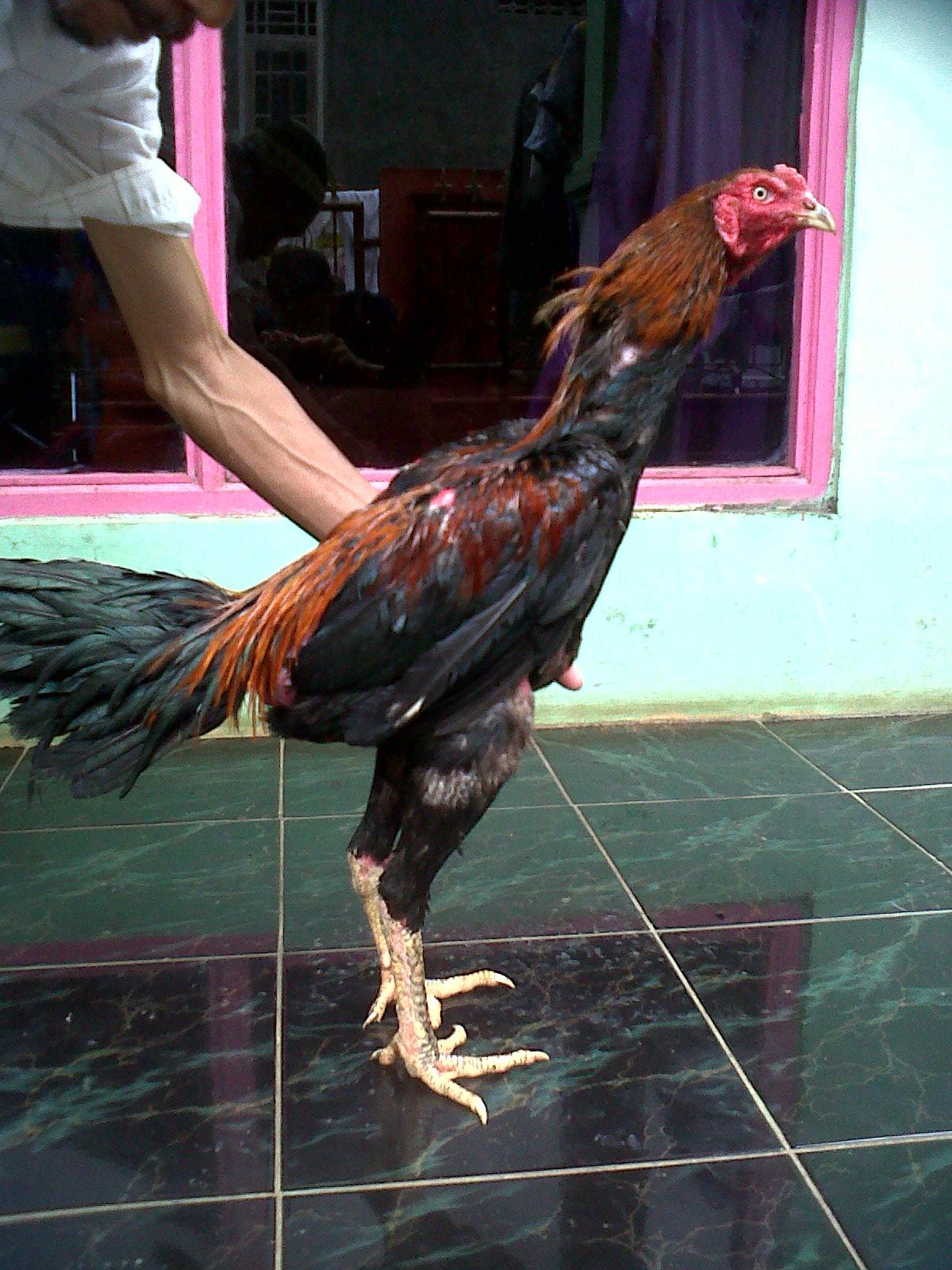 Lancuran Ayam Bangkok Super (Edisi 4)