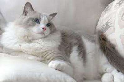 Ragdoll - Most Attractive Cat Breeds