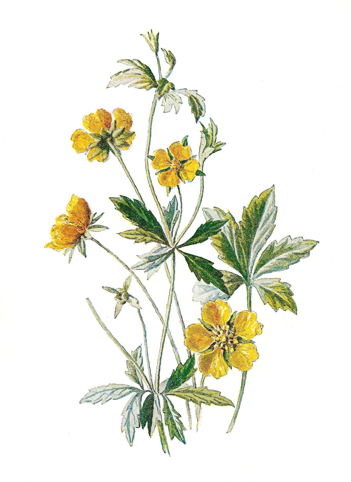 Antique Images: Digital Antique Illustration Wildflowers Botanical ...