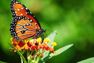 backyard-butterflies