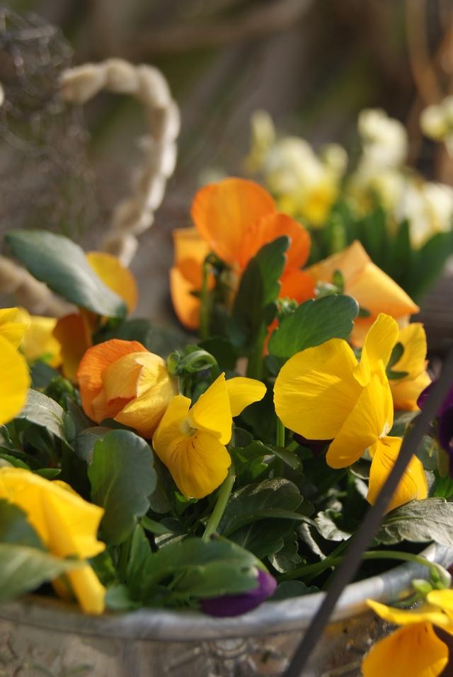 Hornveilchen in Gelb und Orange