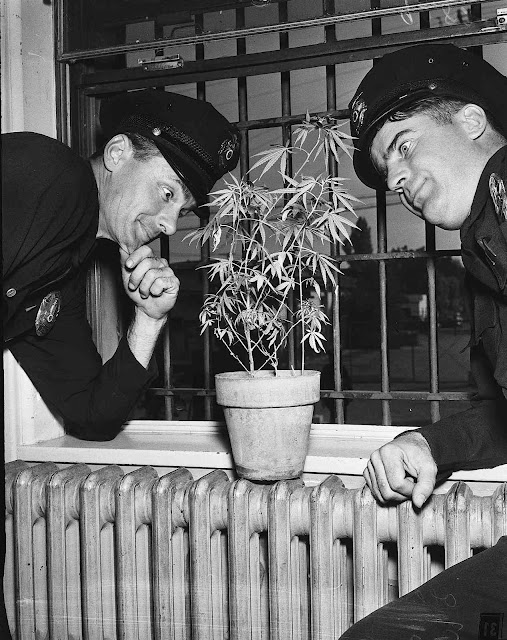 1951 police with marijuanna large photo