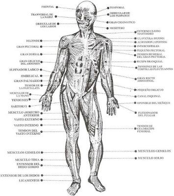 Imagen de los músculos del cuerpo humano señalando sus partes