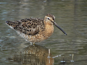 Short & Long Billed Dowitcher (Photo File)