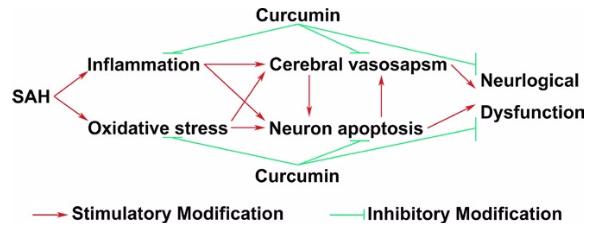 図:くも膜下出血へのクルクミンの影響