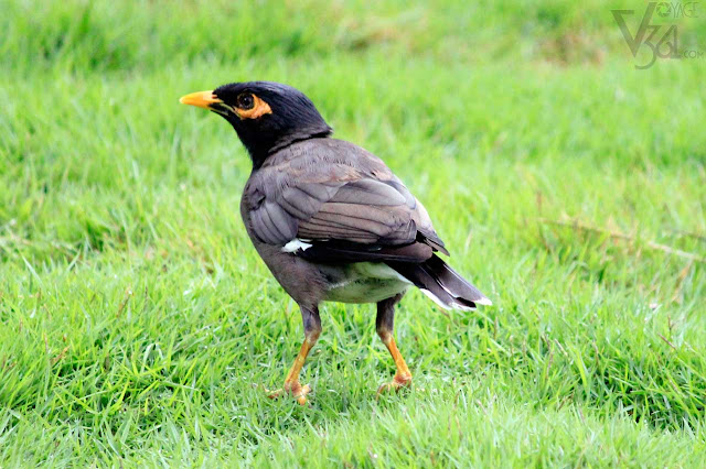 Common Myna or Indian Mynah