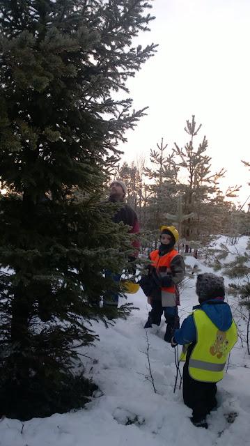 joulukuusen valinta metsässä