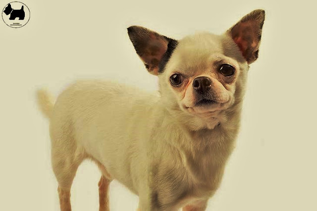 Cutest Dog Breeds, Best Dog, Chihuahua Dog