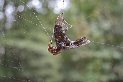 Garden spider eating a butterfly