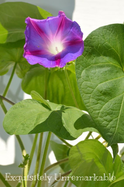 Morning Glories Are Not Weeds