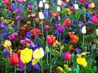 Air cleaning plant Tulip Tulipa gesneriana