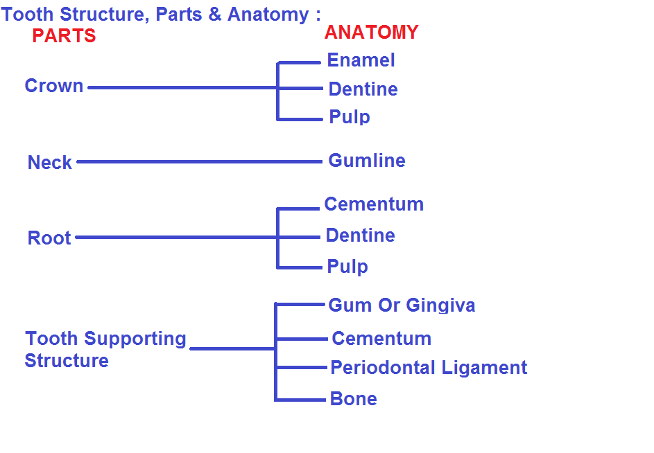Dental, Tooth Anatomy & Supporting Structures, Enamel, dentin , Pulp