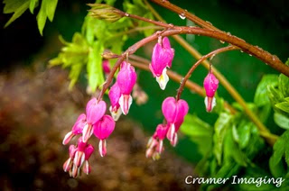 Professional quality nature photograph of pink bleeding heart flowers with water droplets in Pocatello, Bannock, Idaho by Cramer Imaging