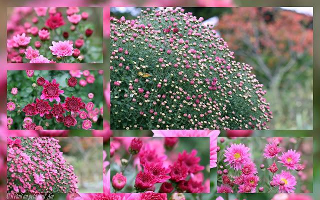 chrysanthème rose et pourpre  fleurs d'automne