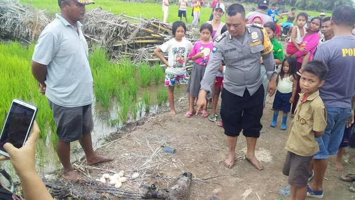 Polsek Rawajitu Selatan berhasil lumpuhkan Buaya Liar dengan Dua Tembakan