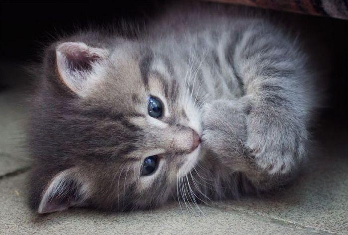 Koleksi Gambar Kitten Yang Buat Anda Geram  Comel Siot