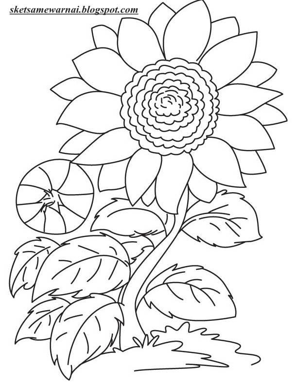 Sketsa Gambar Bunga Matahari Dalam Pot Kata Kata Bijak
