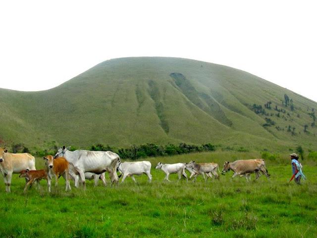 Padang Savana Kawah Wurung banyak sekali Hewan berkeliaran