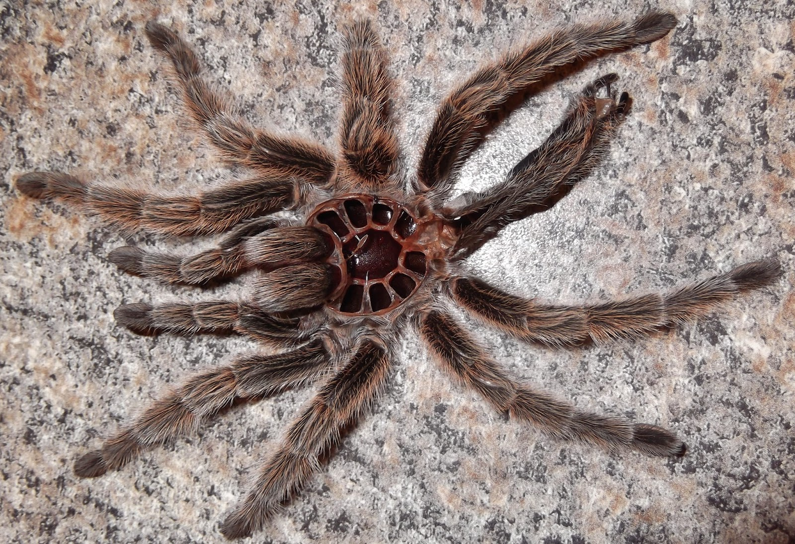Chilean Rose Tarantula Molting