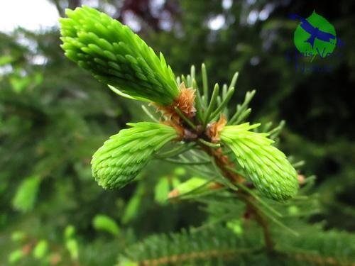 Jeunes pousses épicea - picea obovata - unis vers nature