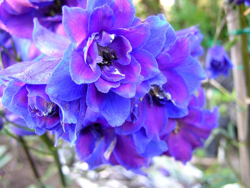 Flower Homes: Larkspur Flowers