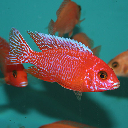Joe 39 s aquaworld for exotic fishes mumbai india 9833898901 for 7 fishes list