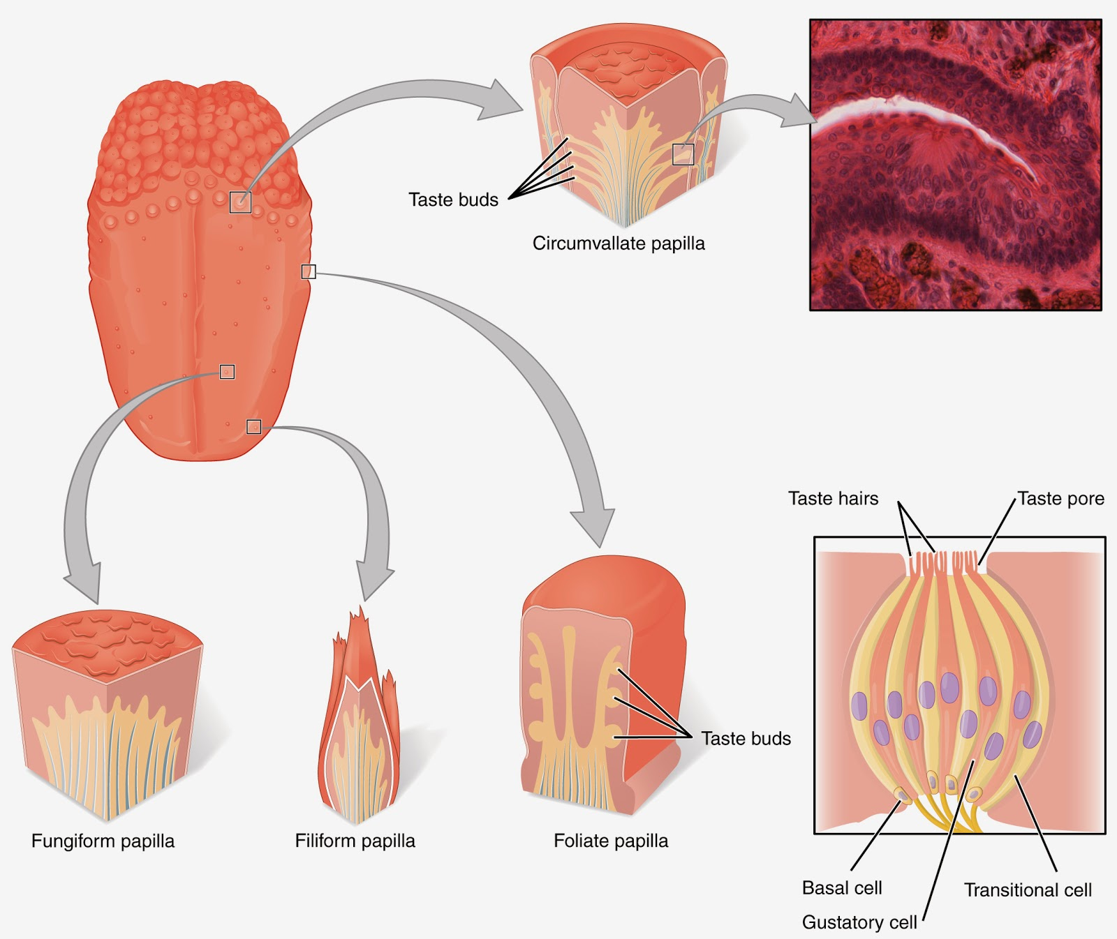 diagram of the human tongue and taste buds 2 gang way light switch wiring uk trailing normal its
