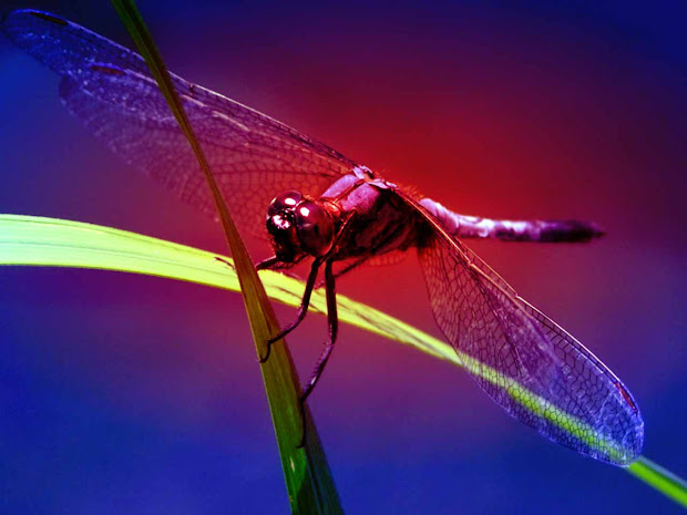 Hd Wallpapers Dragonfly