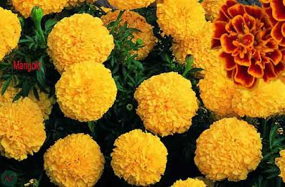 marigold, marigold flower