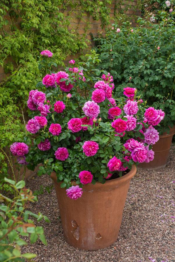 rosa fuchsia, rosal inglés en maceta de barro