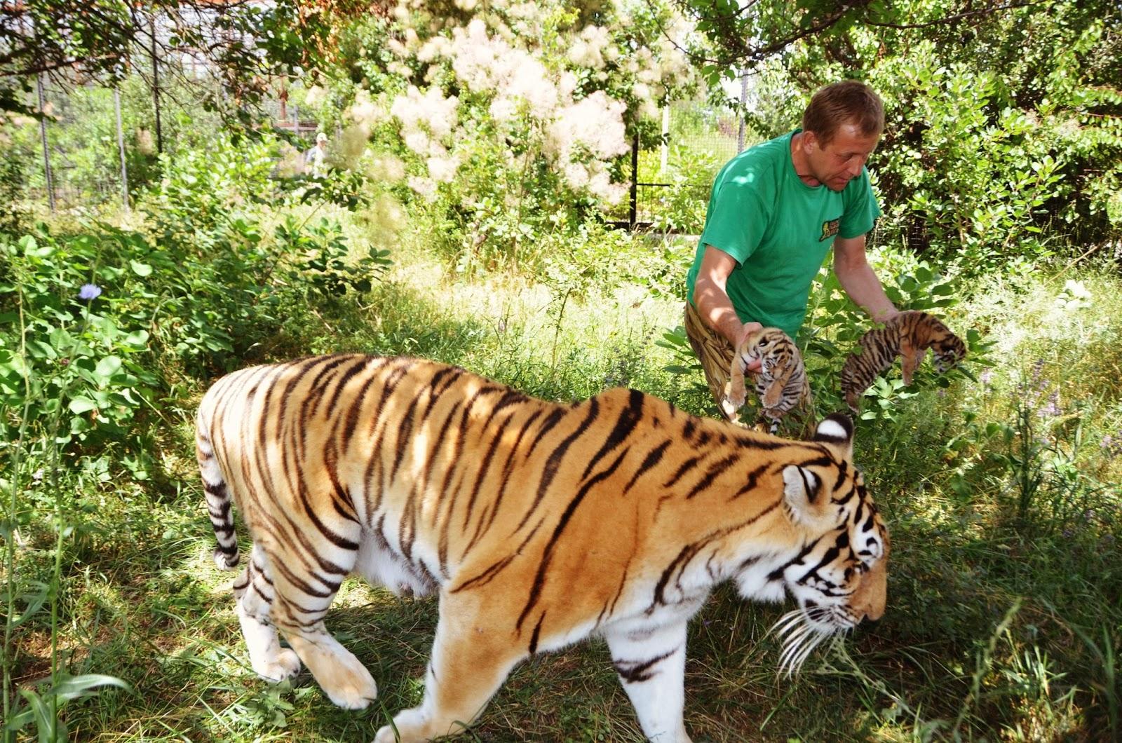 Тигр и человек фото