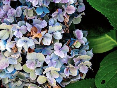 Ajisai (Hydrangea macrophylla) flower: Kencho-ji