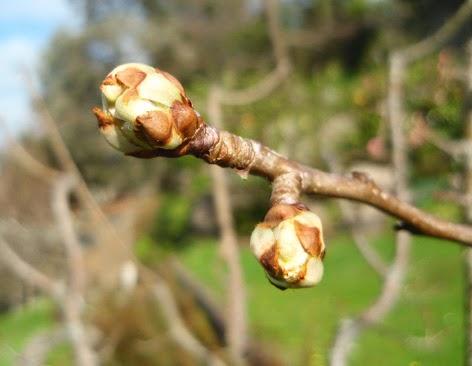 Yemas de flor a punto de abrirse