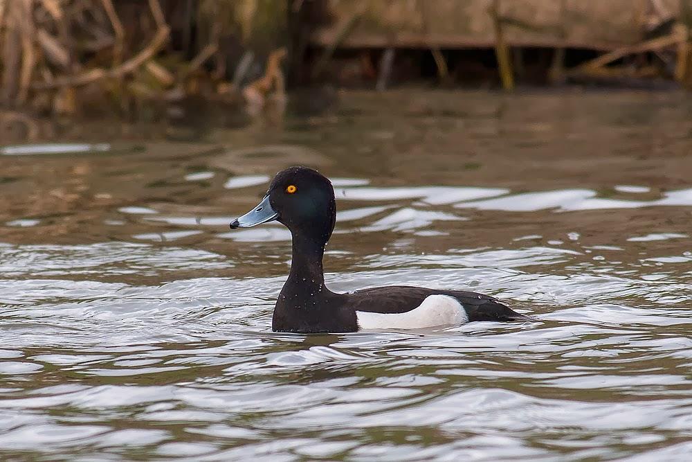 Male, Tufted Duck, Lodge Lake, Milton Keynes