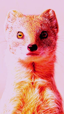 Weasels Facts, Amazing Animals , Weasels Amazing Fact
