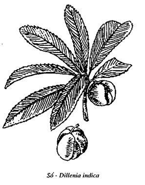 Hình vẽ Sổ - Dillenia indica - Nguyên liệu làm thuốc Chữa Bệnh Tiêu Hóa