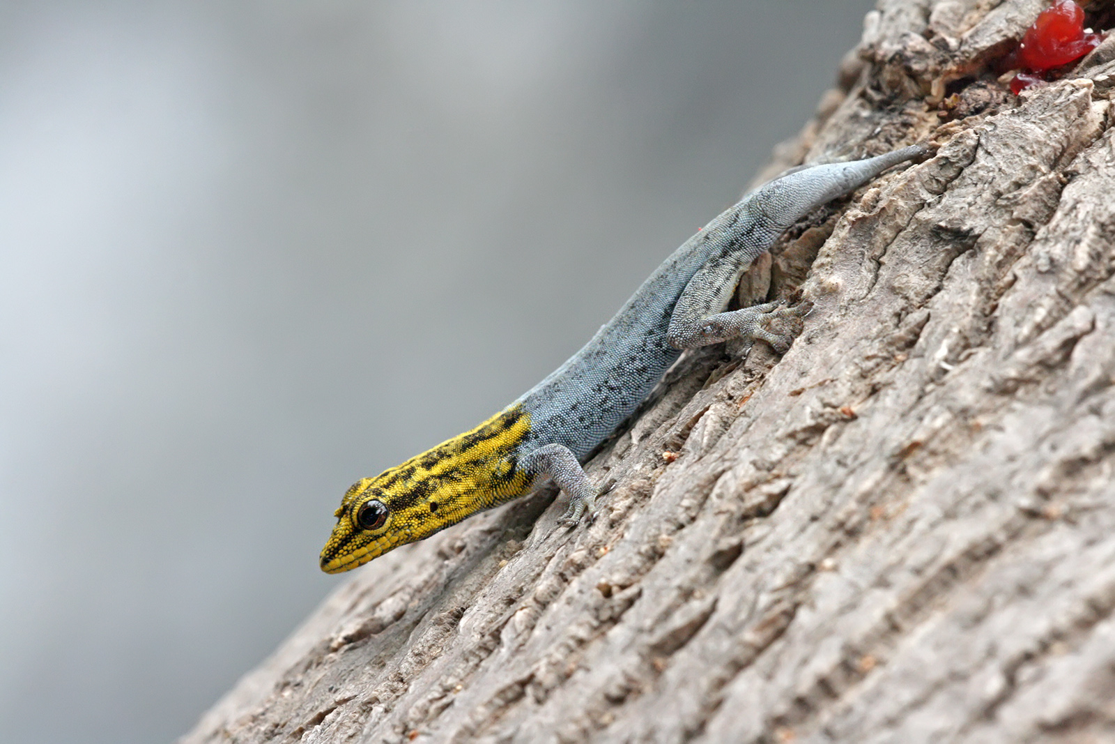 Reptiles: Dwarf Yellow-headed gecko