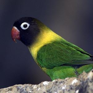 Lovebird Klep